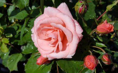 Hvordan klippe rosebusk?