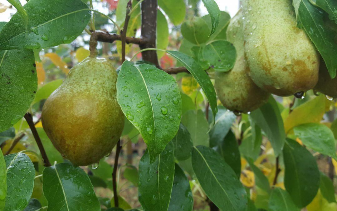 Beskjæring av pæretre