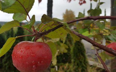 Beskjæring av frukttrær