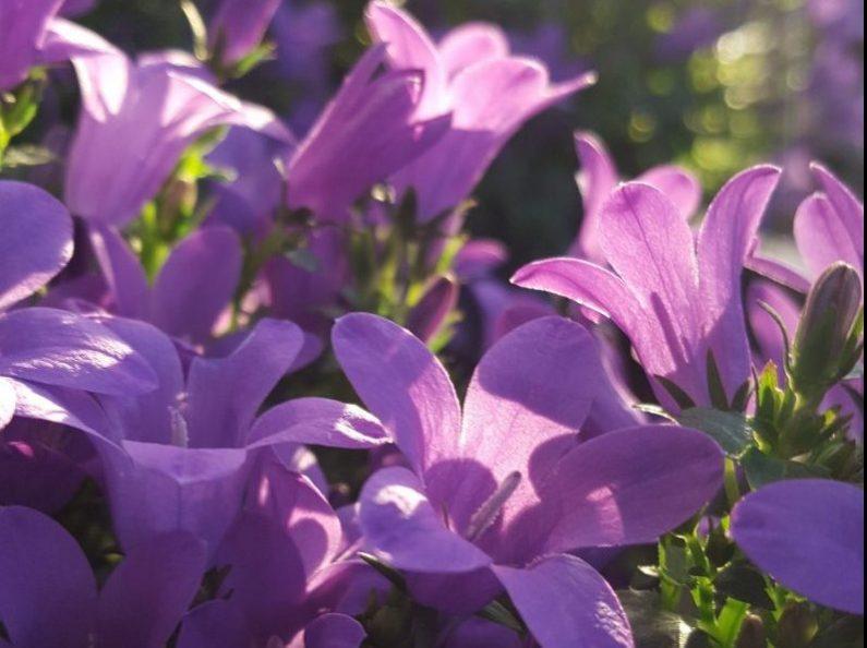 Hva betyr det å herde planter?